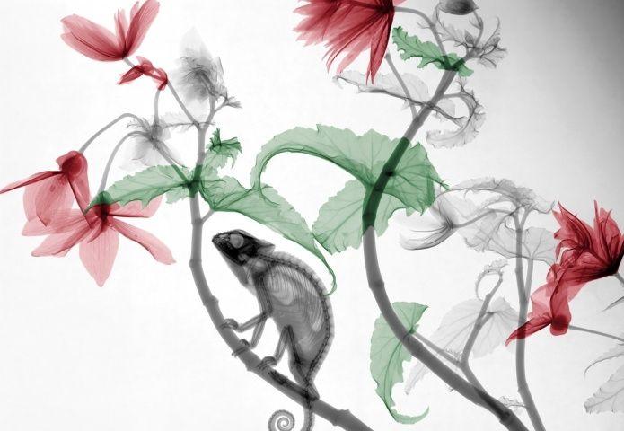 kameleon-hangbegonia-1.jpg